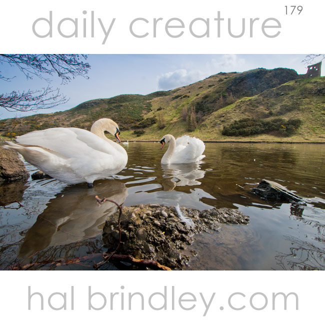 Mute Swan (Cygnus olor) photographed in St. Margaret's Loch. St. Anthony's Chapel Ruins in background. Edinburgh, Scotland, United Kingdom.