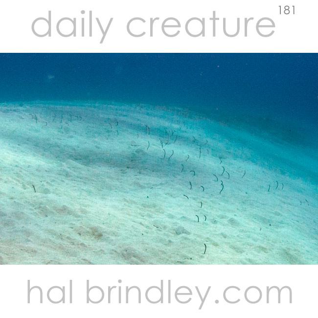 Brown Garden Eels (Heteroconger longissimus) Half Moon Wall, Lighthouse Reef, Belize.