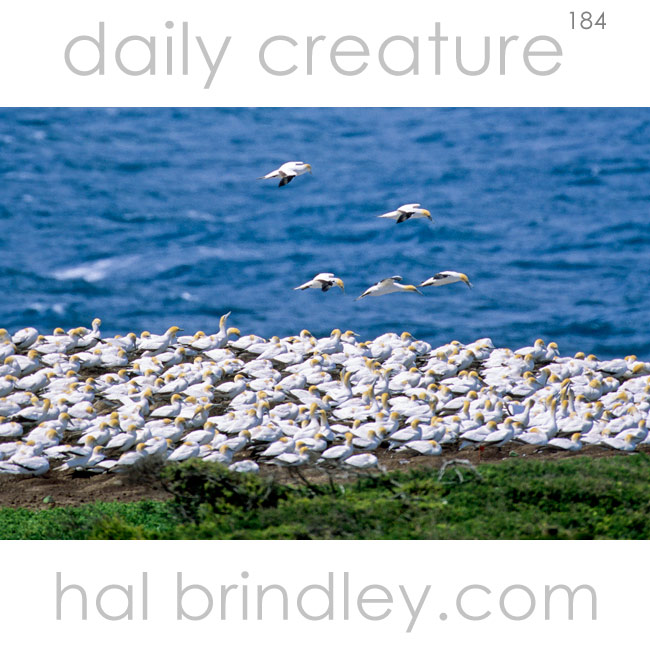 Australasian Gannet breeding colony. (Morus serrator) Point Danger, Victoria, Australia