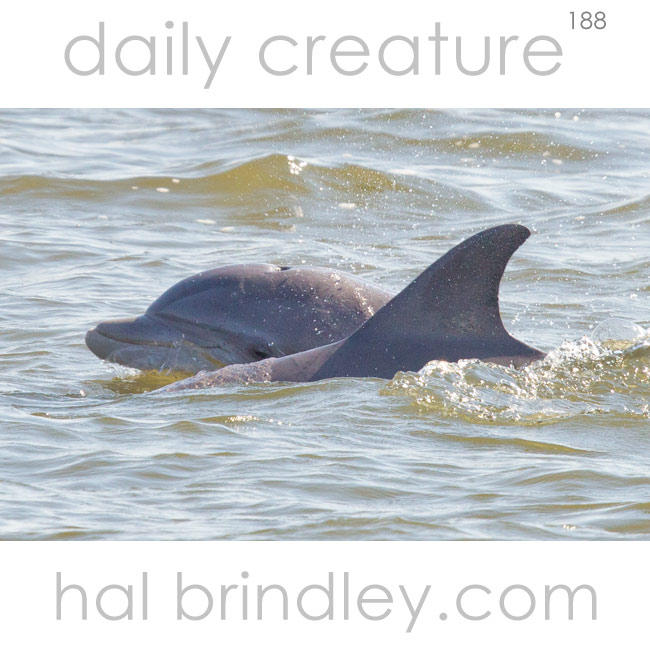 Common (Atlantic) Bottlenose Dolphin (Tursiops truncatus) Roanoke Sound, Manteo, North Carolina, USA.