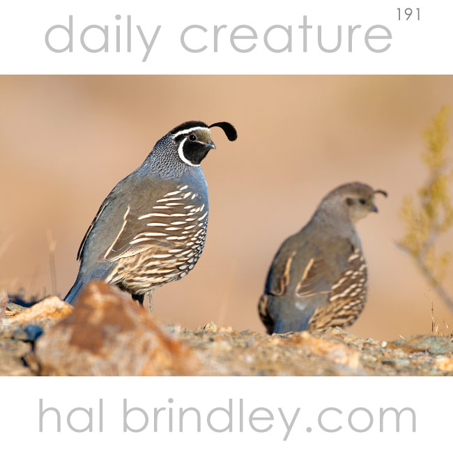 California Quail (Callipepla californica) male and female. Randsburg, California, USA.