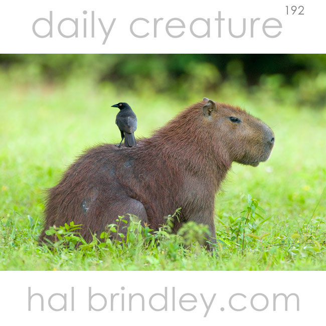 Capybara (Hydrochoerus hydrochaeris) with bird on back. Pantanal, Brazil