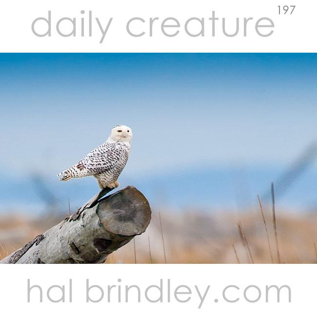 Snowy Owl (Bubo scandiacus) Dungeness Spit, Dungeness National Wildlife Refuge, Washington, USA.