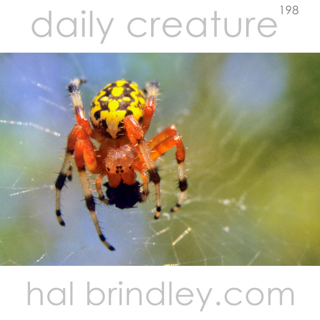 Marbled Orb Weaver (Araneus marmoreus) on web with captured fly. Chapel Hill, NC, USA
