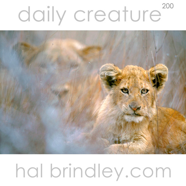 Lion cub with mother in background (Panthera leo). Kruger National Park, South Africa