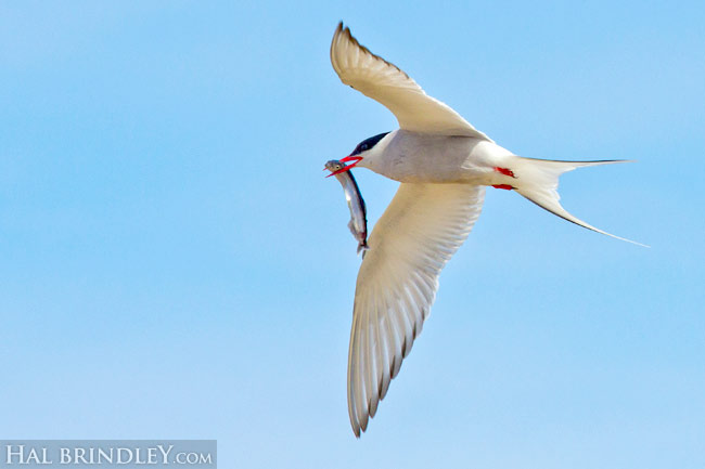 Arctic Tern (Sterna paradisaea) carrying a fish back to feed its young. Churchill, Manitoba, Canada.