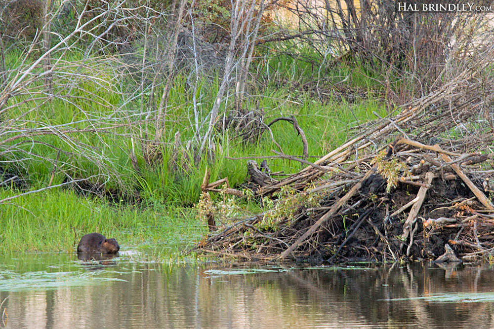 North American Beaver next to lodge. (Castor canadensis) Photographed in Thompson, Manitoba, Canada.