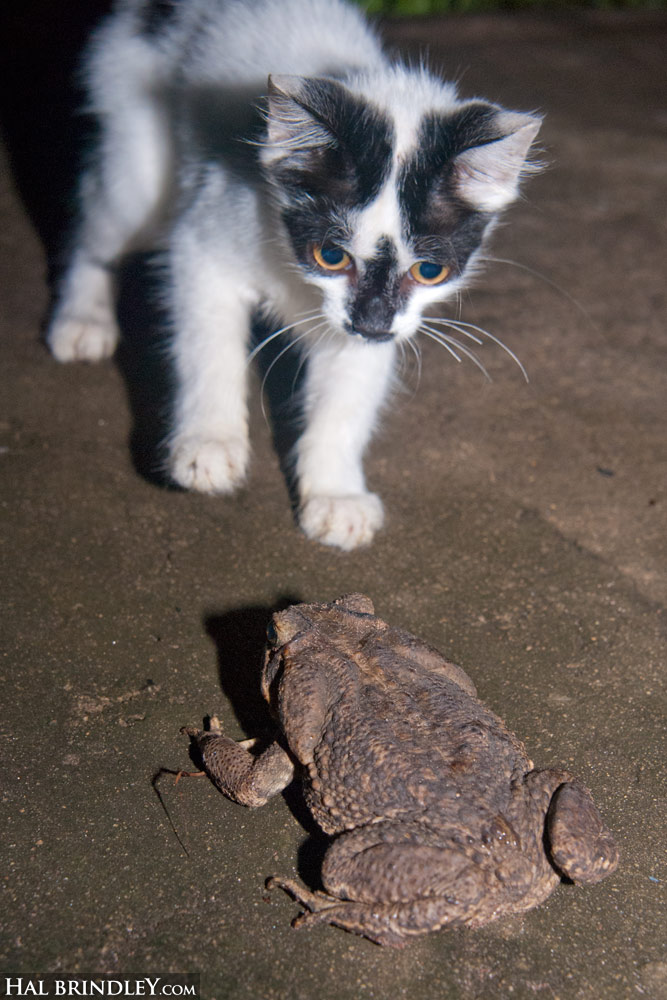 Cane Toad (Rhinella marina) and kitten. Photographed in Palmital, Brazil.