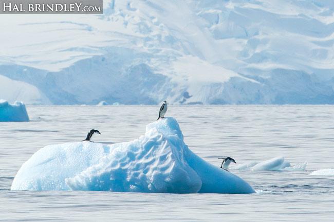 Chinstrap Penguins on bergy bit in Cierva Cove, Antarctica