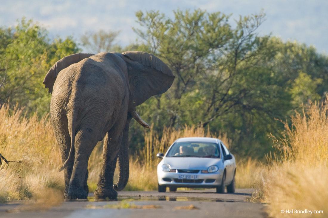 Elephant confronts a tourist. Pianesberg National Park, South Africa.