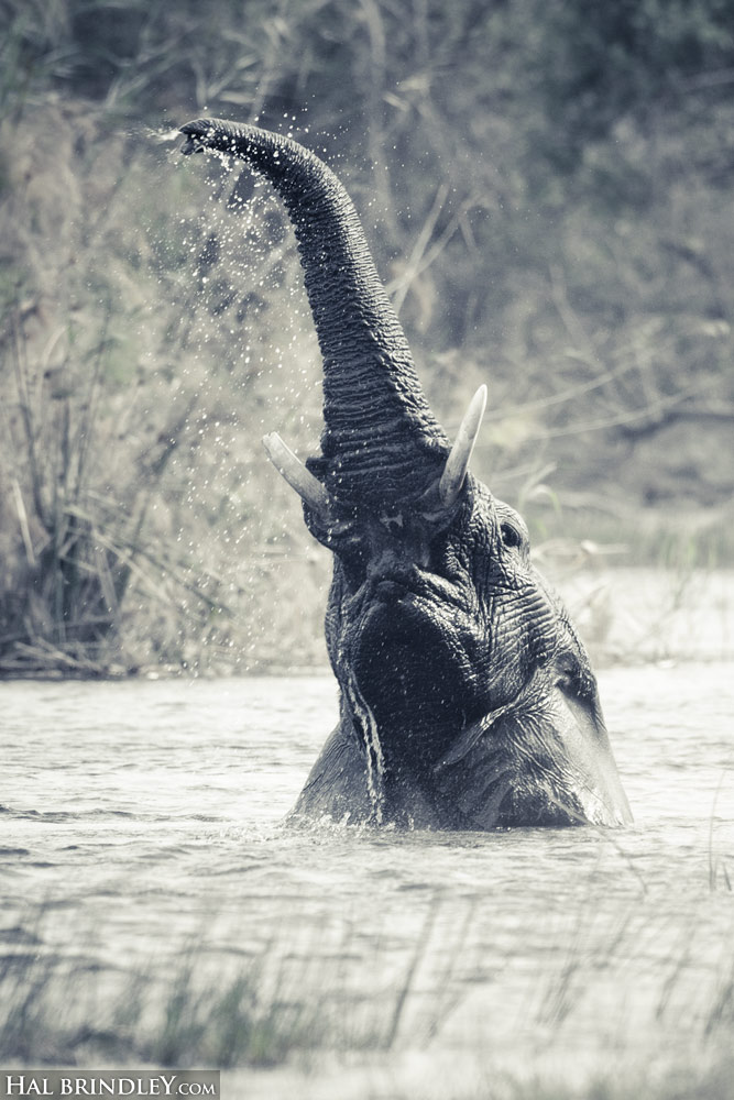 Elephant swimming in Bwabwata National Park, Caprivi Strip, Namibia