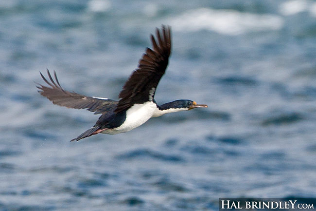 Imperial Shag aka King Cormorant (Phalacrocorax atriceps) flying across the Beagle Channel in Chile.