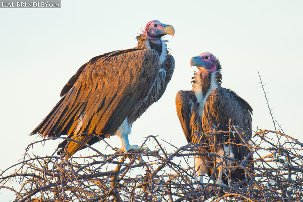 Lappet-Faced Vultures (Torgos tracheliotos) perched in a tree in Etosha National Park, Namibia