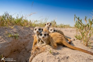 baby meerkats at the den in the Central Kalahari, Botswana