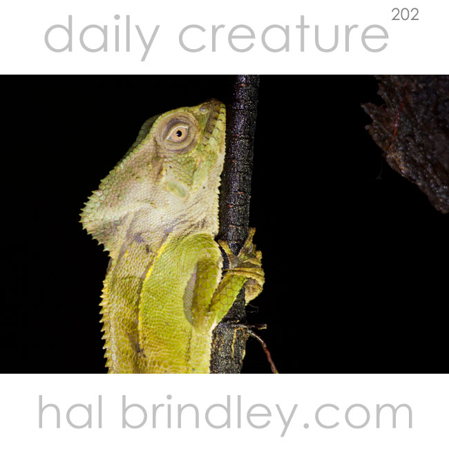 202-casque-headed-lizard