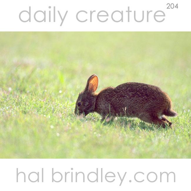 204-marsh-rabbit