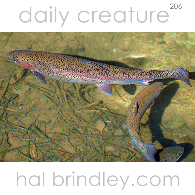 206-rainbow-trout