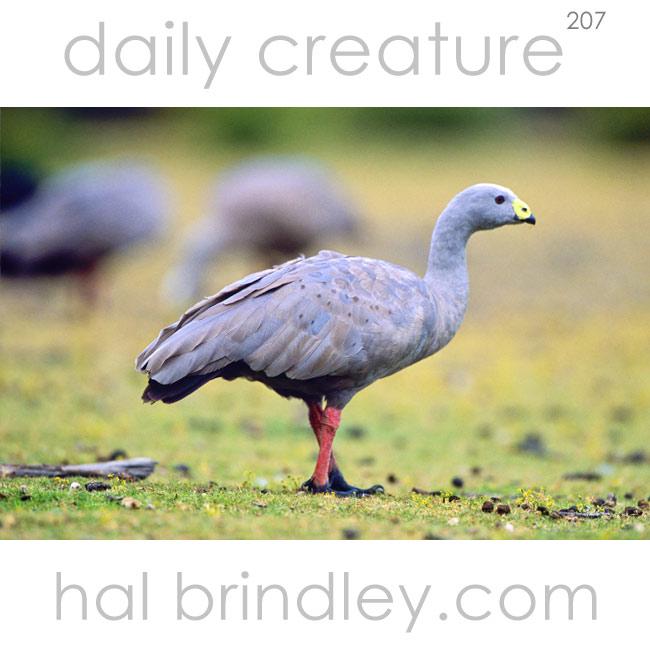 207-cape-barren-goose