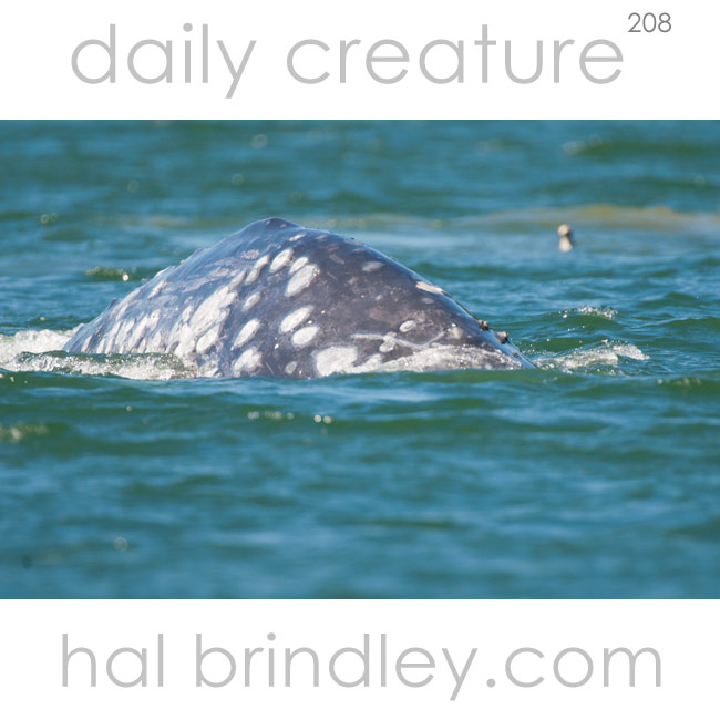 208-gray-whale