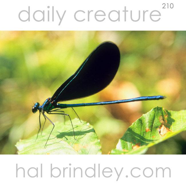 210-black-winged-damselfly