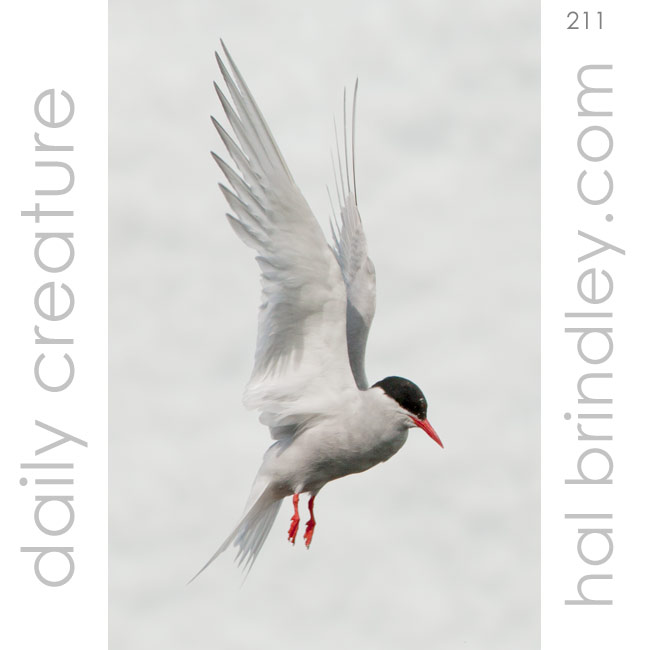 211-antarctic-tern