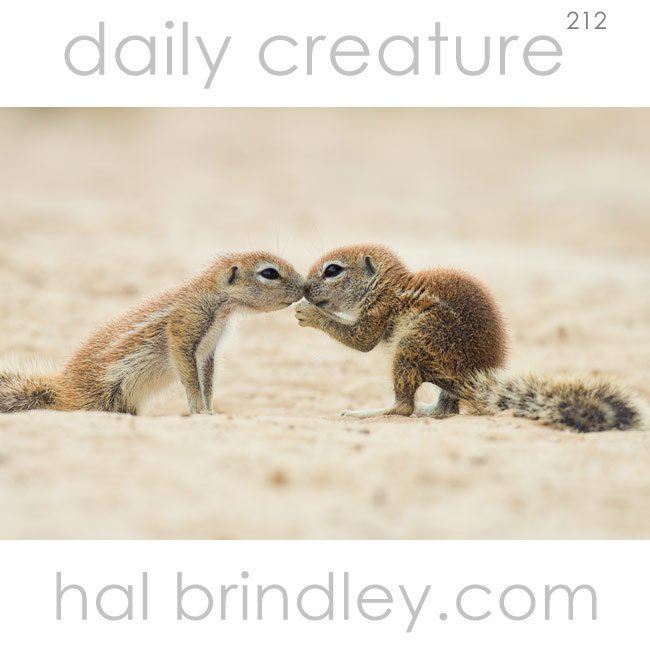 212-south-african-ground-squirrel