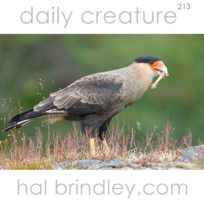 213-crested-caracara
