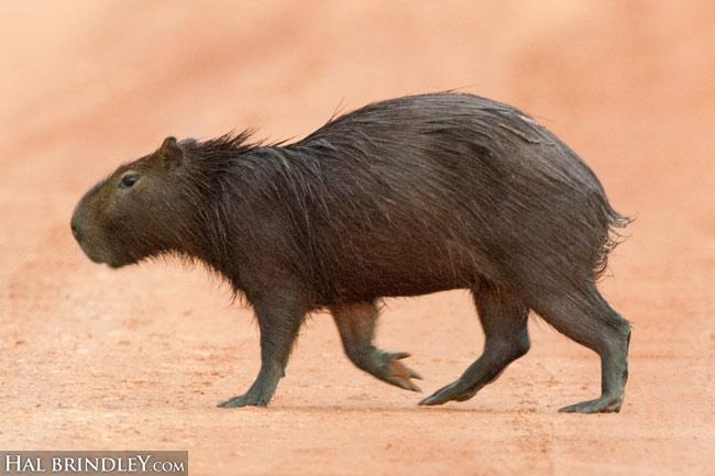 Capybara (Hydrochoerus hydrochaeris) crossing Transpantaneira Highway. Pantanal, Brazil