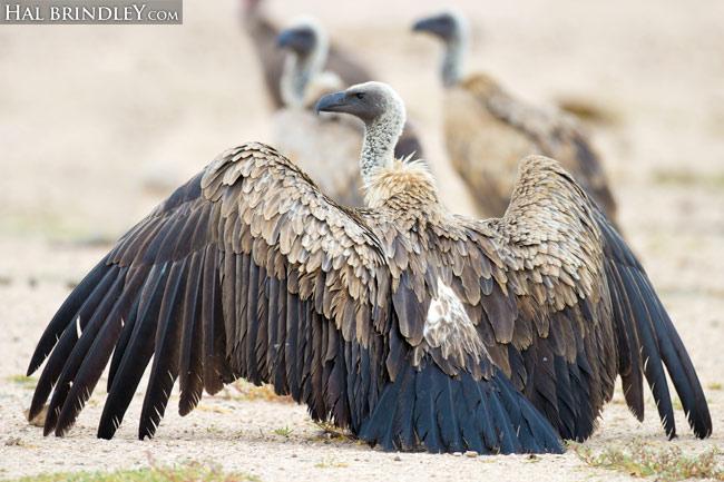 White-backed Vulture (Gyps africanus) Etosha National Park, Namibia.