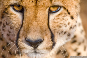 closeup of cheetah in South Africa